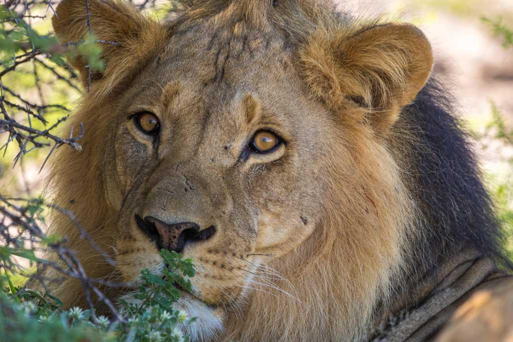 Löwe in der Central Kalahai